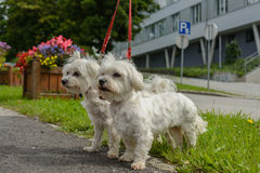 Two Maltese dogs go walkies. Two Maltese dogs go as a pair at the leash for a walk Stock Photos