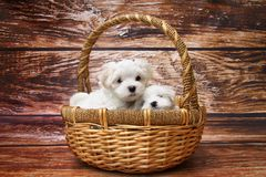 Two Maltese dogs in wicker basket
