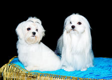 Two Maltese lions. The two Maltese lions  seat on the table Royalty Free Stock Image