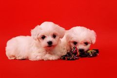 Two maltese puppy with toy for dogs on a red background. Two maltese puppy with toy for dogs on a red background Royalty Free Stock Photo