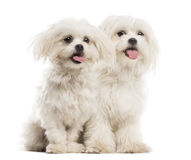 Two Malteses Royalty Free Stock Image