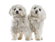 Two malteses Royalty Free Stock Images