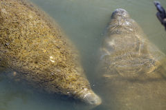 Two manatees floating at Merritt Island National Wildlife Refuge Royalty Free Stock Images