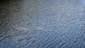 Two Manatees Seen from Above the Water stock video footage