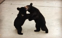 Two Manchu brown bears or Hairy ear bears fighting Royalty Free Stock Image