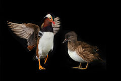 Two mandarin ducks Stock Image