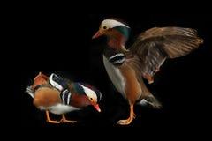 Two mandarin ducks Royalty Free Stock Photos