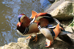 Two mandarin ducks near the beach Royalty Free Stock Image
