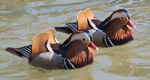Two Mandarin Ducks Royalty Free Stock Photography