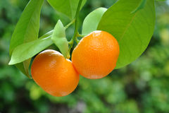Two mandarins on branch with green leaves. Mandarin tree branch on green background Royalty Free Stock Photo