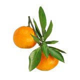 Two mandarins hanging on the branch with leaves Stock Images
