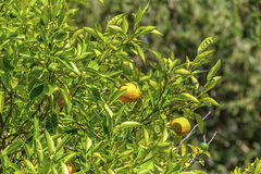 Two mandarins. Hidden in the branches of a tree ... Image acting calm and shows the wonderful nature, sunshine. Mediterranean flair .Useful as background Royalty Free Stock Image
