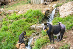 Two mandrill baboons Royalty Free Stock Images
