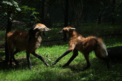 Two maned wolfs (Chrysocyon brachyurus) fighting. Stock Image