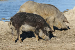 Two Mangalica domestic pigs on the farm. Two Mangalica a Hungarian breed of domestic pig Stock Photo