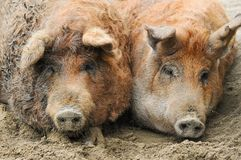 Two Mangalica in the mud. In hungary Royalty Free Stock Images