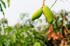 Two of mango in orchard Royalty Free Stock Images