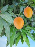 Two mangoes on branch. Two ripe mangoes on branch Royalty Free Stock Image