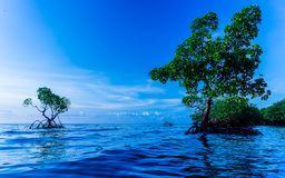 Two mangrove tree with blue sky and ocean water stock images