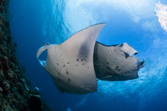 Two manta ray cleaning Stock Photography