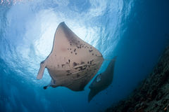 Two manta ray cleaning stock image