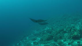 Two Manta rays on a coral reef stock footage