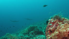Two Manta rays on a coral reef stock video footage