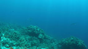 Two Manta rays on a coral reef stock video