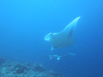 Two Manta rays flying like birds Royalty Free Stock Photography