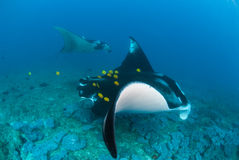 Two manta rays swimming alongside Royalty Free Stock Images
