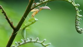 Two mantis on fern shoot. Two mantis are resting on the fern shoot stock video footage
