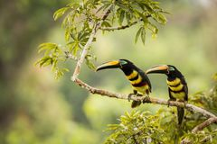 Two Many-banded Aracari sitting on s branch. Two Many-banded Aracari, Color striped bird,  south america,Two butterflies sitting on a branch Stock Photography