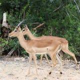 Impala Family royalty free stock image