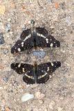 Two Map Butterfly - summer generation. Two Map Butterfly - Araschnia levana  in a Macro shot - summer generation Royalty Free Stock Photos