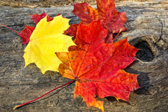 Two maple leaf lying on a wooden background Stock Photo