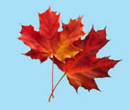 Two maple leafs of the red colour. Two maple autumn sheets red and orange colour stock images