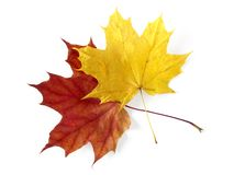Two maple leaves Royalty Free Stock Image