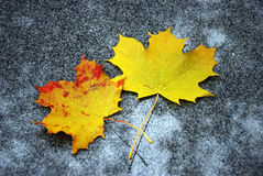 Two maple leaves Royalty Free Stock Photos