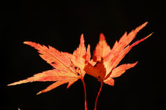 Two maple leaves Royalty Free Stock Photography