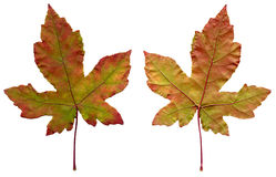 Two maple leaves. Isolated on a white background Stock Photo