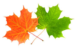 Two maple leaves. One autumn leaf and one green maple leaf, isolated on white background Royalty Free Stock Photos