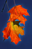 Two maple leaves. On dark blue Stock Image