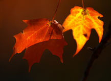 Two maple leaves. In fall stock images