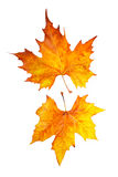 Two maple leaves. Isolated on white background Royalty Free Stock Photo