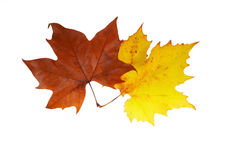 Two maple leaves. Isolated on white background Royalty Free Stock Images