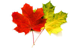 Two Maple Leaves Stock Photos