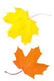Two maple leaves. Maple leaf, yellow and red leaves isolated on white Stock Photos