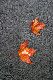 Two Maple leaves on asphalt after rain. Royalty Free Stock Photography