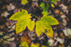 Two maple leaves on a brunch on cloudy autumn day Royalty Free Stock Photo