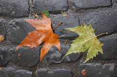 Two Maple Leaves on a Cobblestone Street, Portland, OR. Here are two maple leaves on a cobblestone-paved street in Portland, OR.  One is brown, and the other Royalty Free Stock Photos